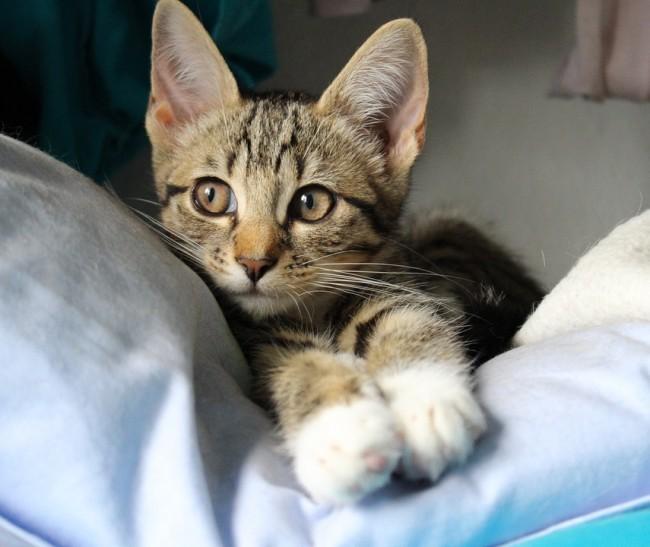 kitten-917484_960_720